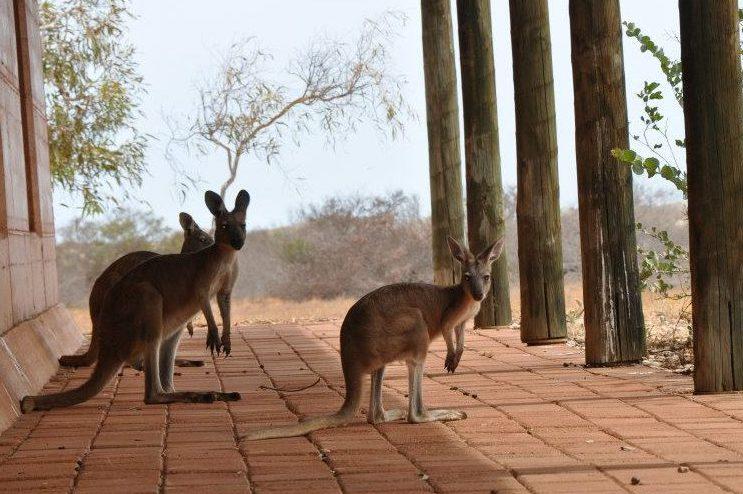 Freilebende Kängurus in Australien